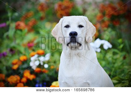 portrait dog breed Labrador Retriever among the flowers in summer