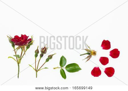 red rose flower abstract isolated on white background