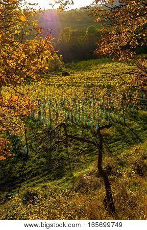 Vineyard on a Hill in Autumn in Austria