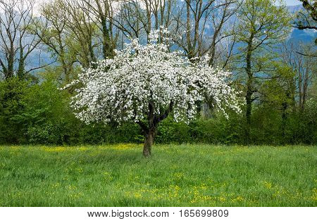 An apple tree in full bloom with white blossoms standing single on a green grass field, in srping time. In the background mountains and other trees can be seen.