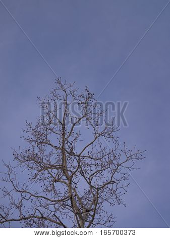 Solitary aspen tree without leaves silhouetted against blue sky.