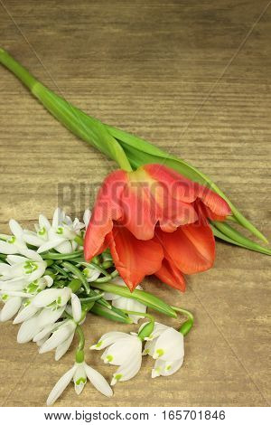Red tulip and snowdrops in detail on wooden background