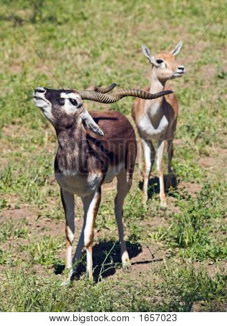 Protect a girlfriend. A couple of Indian Black Buck Antelopes over green grass. poster
