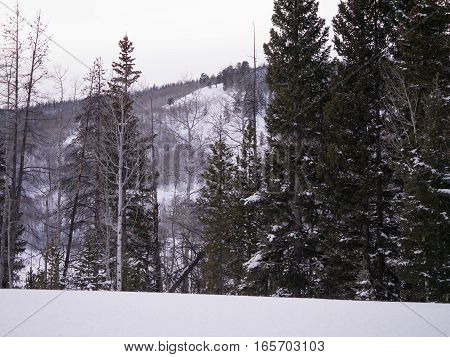 Aspens and pines in winter, covered with fresh snow