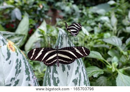 Zebra Longwing, (Heliconius charitonia) - butterfly, close up