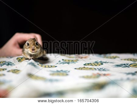 Little mongolian gerbil mouse in female hand. Copy space.