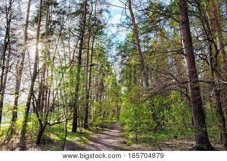 Tall old trees and mixed deciduous-coniferous city park in spring Irpen, Ukraine