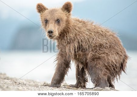 Little Bear Cub Is On The Lake