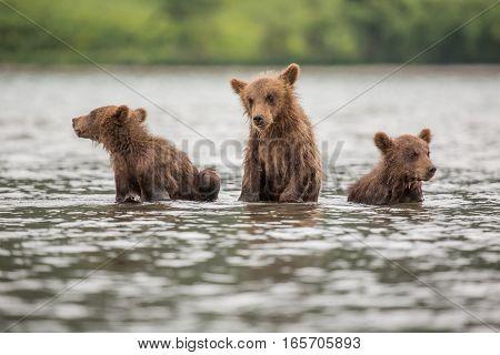 Three Little Bear Cub Swimming In The Lake