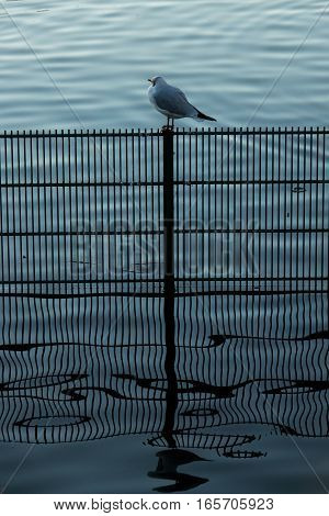 Single small bird sitting on a fence in water in a pond in Regents Park in London in the morning
