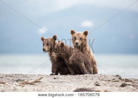 Little cubs waiting for his mother bear (Kuril lake, Kamchatka, Russia)