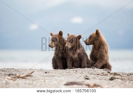 Little cubs waiting for their mother bear (Kuril lake, Kamchatka, Russia)