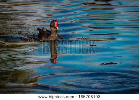 Black duck swimming in a small lake in Regents Park in London