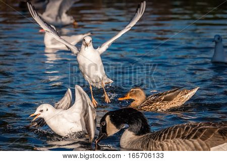 Seagulls and ducks fighting for food thrown by people in Regents Park in London