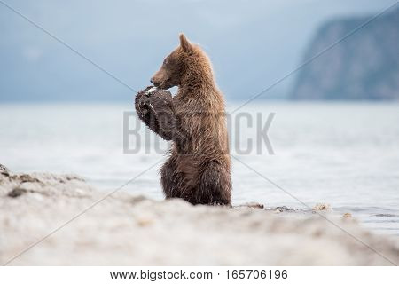 Boxing cub bear (Kuril lake, Kamchatka, Russia)