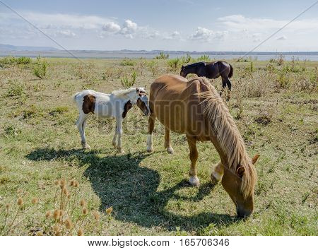 Brown horses and pinto foal grazing near the sea in Apulia (Italy)