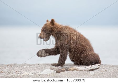 Small bear cub on the lake (Kuril lake, Kamchatka, Russia)