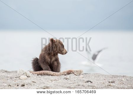 Small bear cub and seagull (Kuril lake, Kamchatka, Russia)