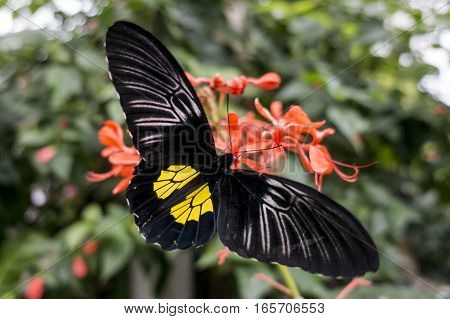 Butterfly Golden Birdwing (Troides aeacus) on the flower