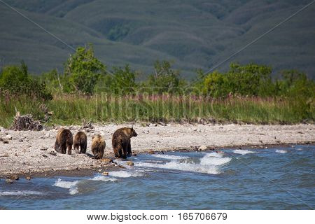 Mama Bear And Her Cubs - Great Family