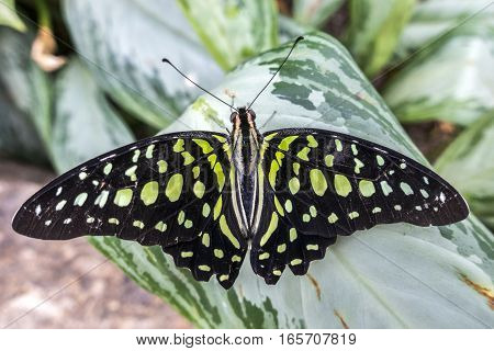 A Tailed Jay butterfly lands in the gardens.
