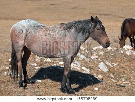 Red Roan mare wild horse in the Pryor Mountain Wild Horse Range in Montana USA