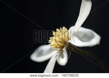 A magnolia flower set against a black background.