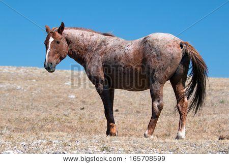 Red Roan Stallion wild horse in the Pryor Mountain Wild Horse Range in Montana USA