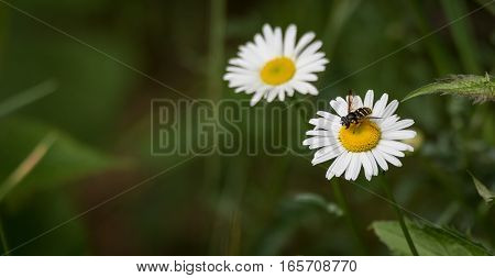 A yellow jacket wasp flies amongst springtime daisies, flower to flower carrying the pollen from one to another.