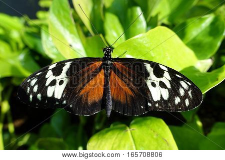 Tiger Longwing butterfly Heliconius hecale perching on a leaf