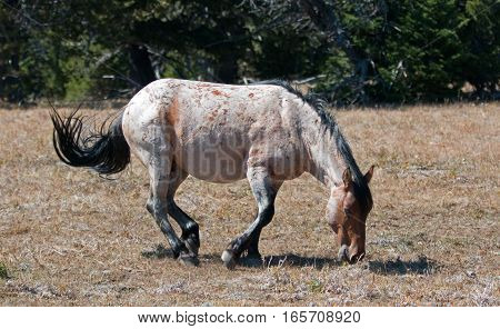 Red Roan Wild Stallion about to roll in the dirt in the Pryor Mountain Wild Horse Range in Montana USA