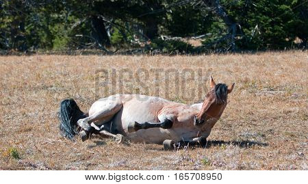 Red Roan Wild Stallion rolling in the dirt in the Pryor Mountain Wild Horse Range in Montana US of A
