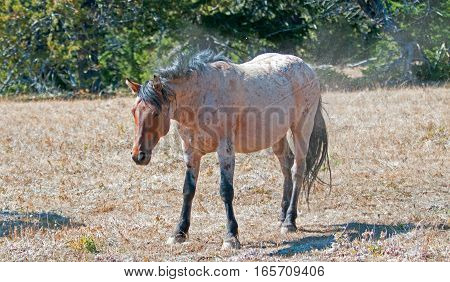 Red Roan Stallion wild horse shaking and dusting off after rolling in the dirt in the Pryor Mountain Wild Horse Range in Montana USA