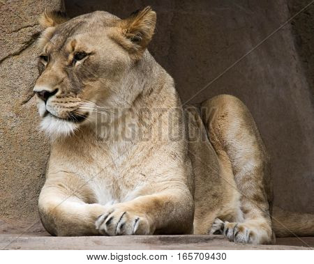 Lioness resting next to a large sandstone