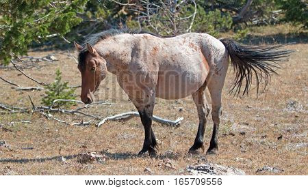 Red Roan Stallion wild horse in the Pryor Mountain Wild Horse Range in Montana United States