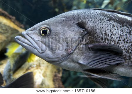 Largemouth bass (Micropterus salmoides) ,close up detail