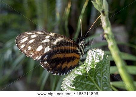 Ismenius Tiger, ( Heliconius ismenius ) ,close up