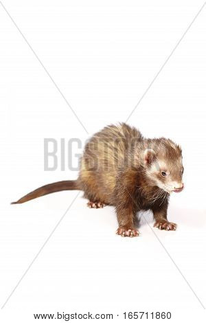 Nice chocolate ferret on white background posing for portrait in studio