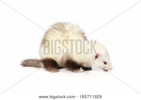 Light color ferret on white background posing for portrait in studio