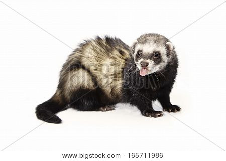 Dark ferret on white background posing for portrait in studio