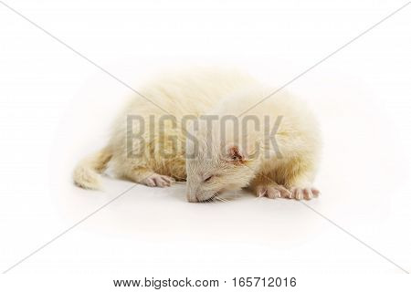 Albino ferret on white background posing for portrait in studio