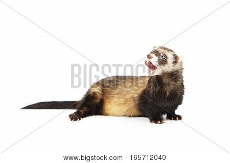 Ferret on white background posing for portrait in studio
