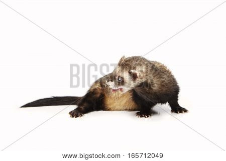 Blind ferret on white background posing for portrait in studio