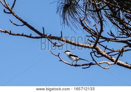 A LOGGERHEAD SHRIKE ON THE BRANCH OF A PINE TREE