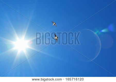 Free flying birds swallow on blue sky background spring concept