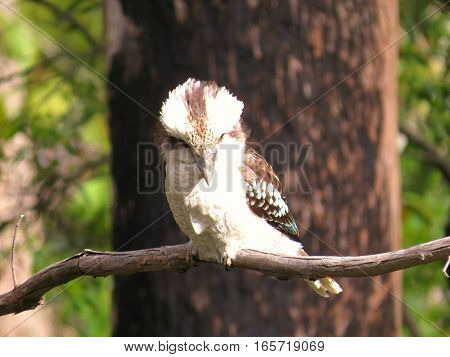Kookaburra sits in the old Australian gum tree