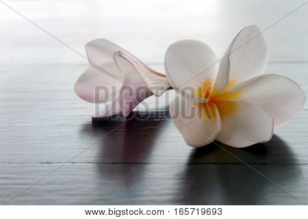 Closeup Plumeria or Frangipani Tropical flowers on wood table selective focus