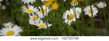 A bee flies amongst daisies, flower to flower and carries the pollen from one to another.  The bee's bottom is covered in yellow pollen.