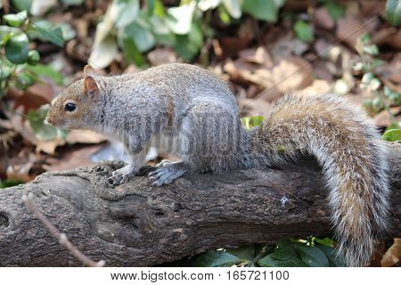 Anxious looking squirrel with beautiful tail in outdoor