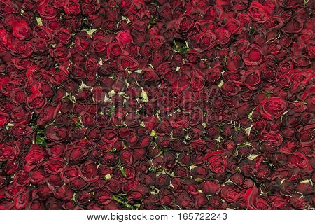 Color roses in flower factory in Da Lat city in Vietnam